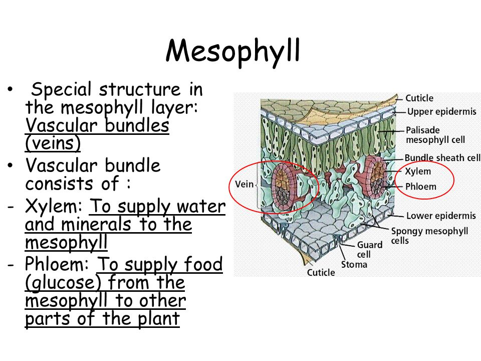 Mesophyll Special structure in the mesophyll layer: Vascular bundles (veins) Vascular bundle consists of :