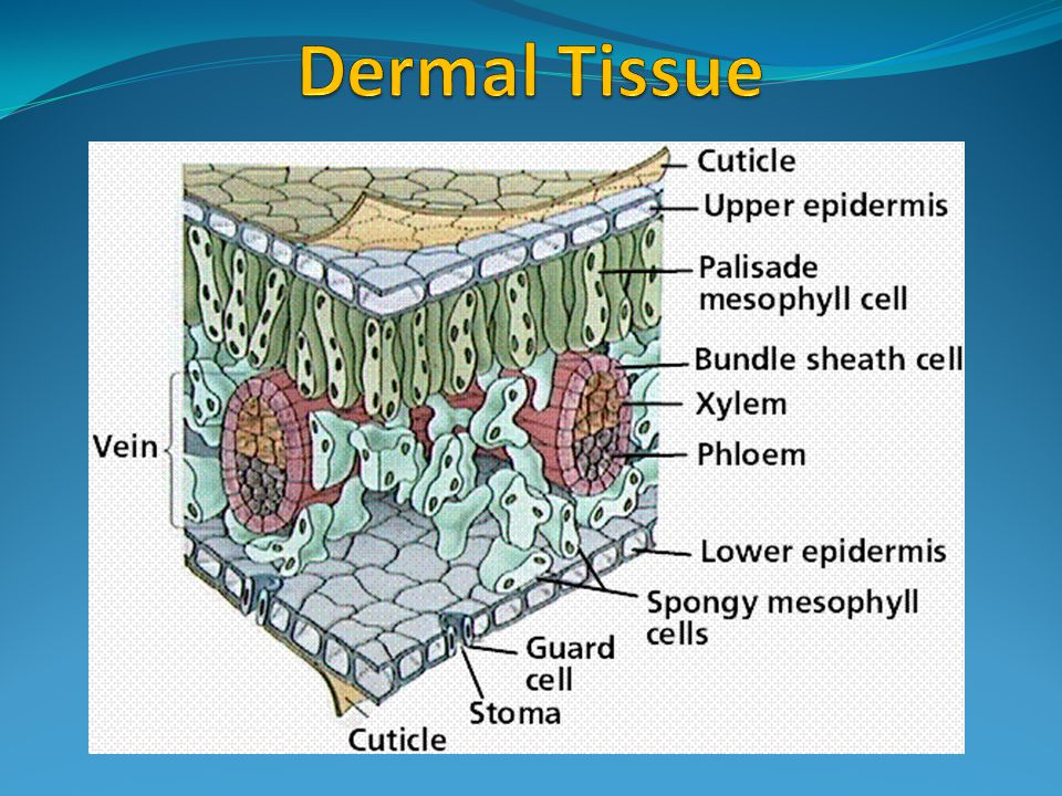 dermal tissues Learn about plant tissue systems like other organisms, plant cells are grouped together into various tissues dermal tissue, vascular tissue.