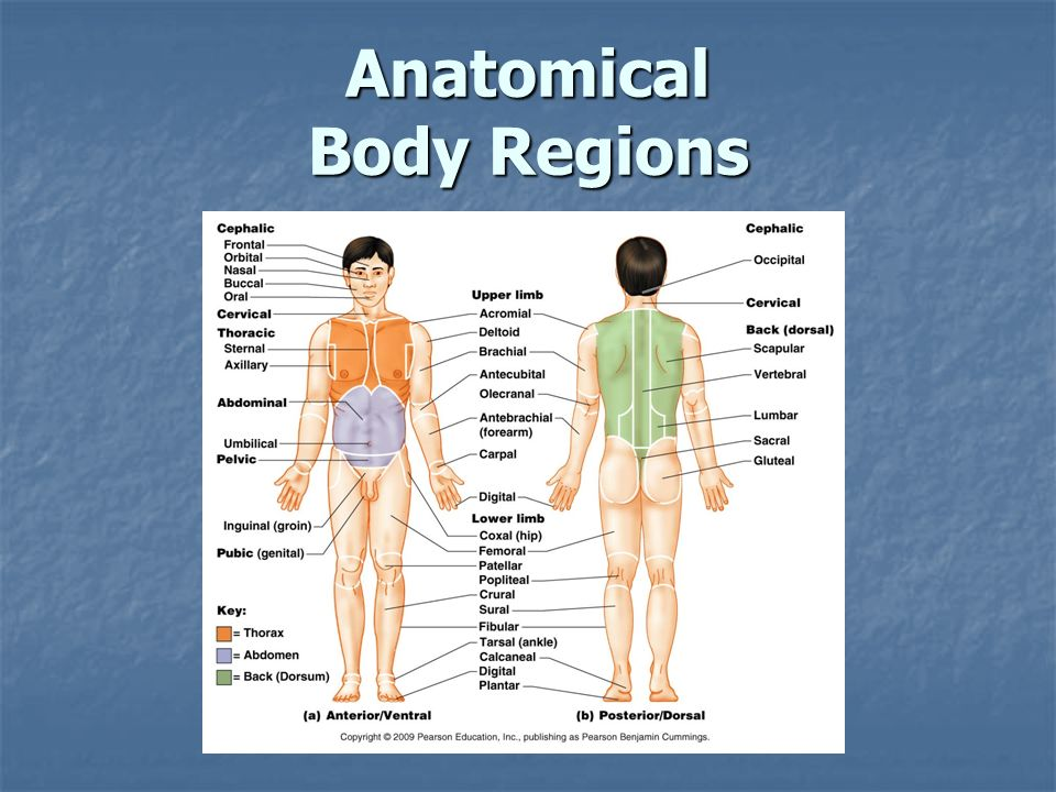 Anatomical Body Regions Ppt Video Online Download