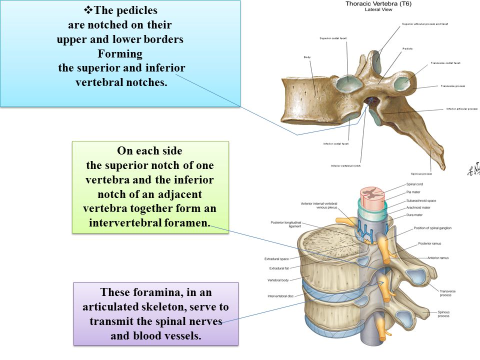 The Vertebral Column 7 cervical Is composed of 33 vertebrae - ppt ...