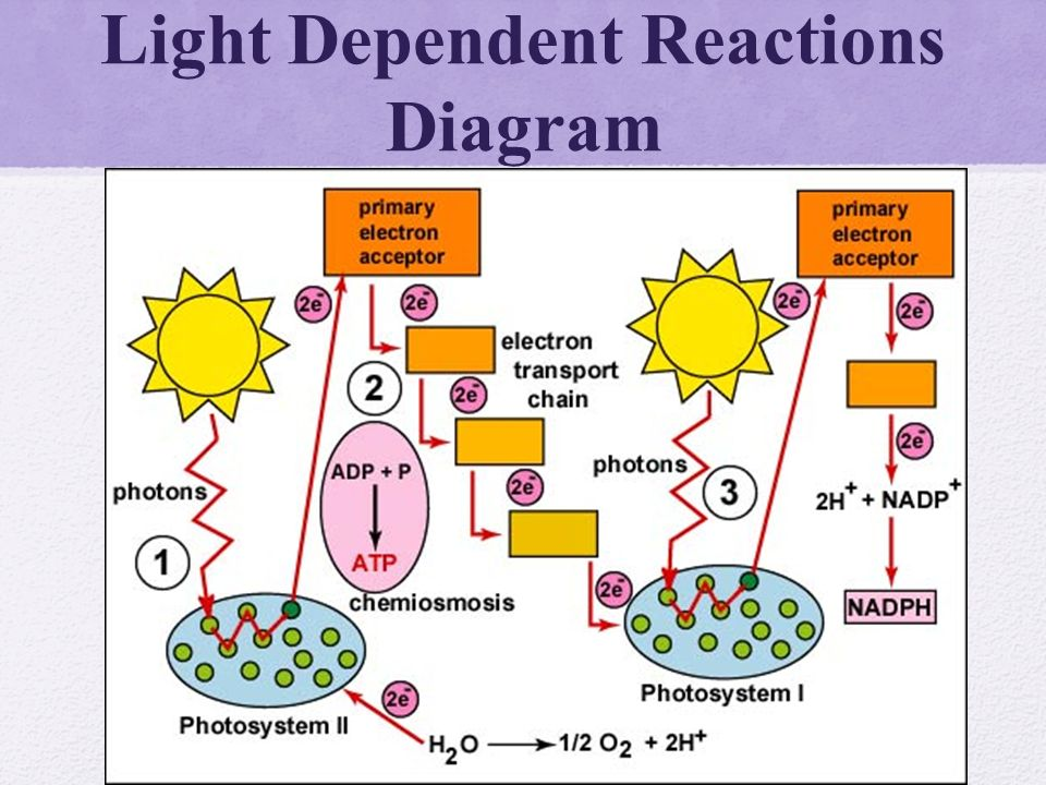 light dependent reactions In the first stage of photosynthesis, the light-dependent reactions, light energy is converted into chemical energy, forming new bonds in two energy carrier molecules, atp and nadph.