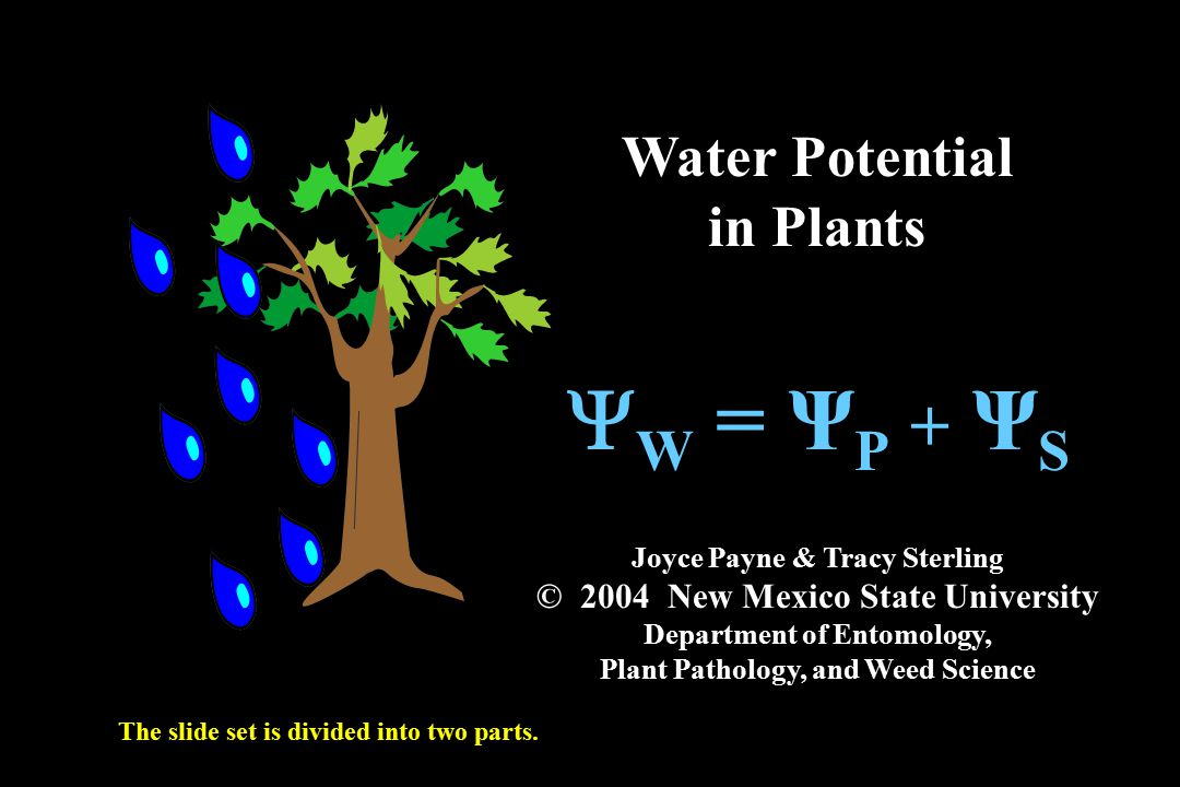 YW = ΨP + ΨS Water Potential in Plants - ppt download