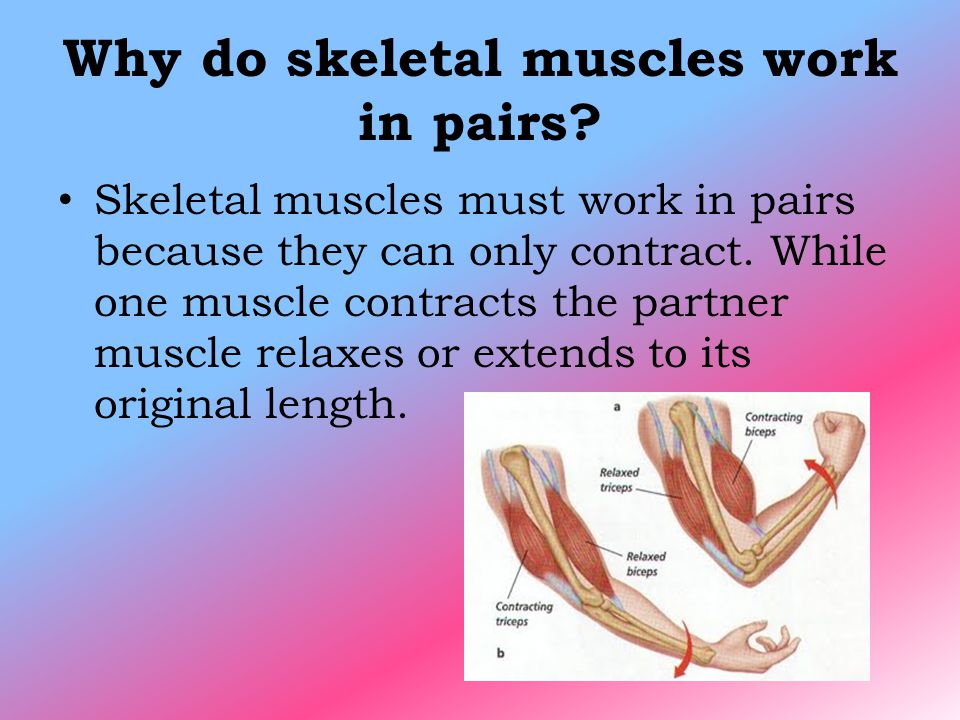 skeletal muscles Define skeletal muscle skeletal muscle synonyms, skeletal muscle pronunciation, skeletal muscle translation, english dictionary definition of skeletal muscle n a usually voluntary muscle that is made up of elongated, multinucleate, transversely striated muscle fibers and is typically attached to a bone n.