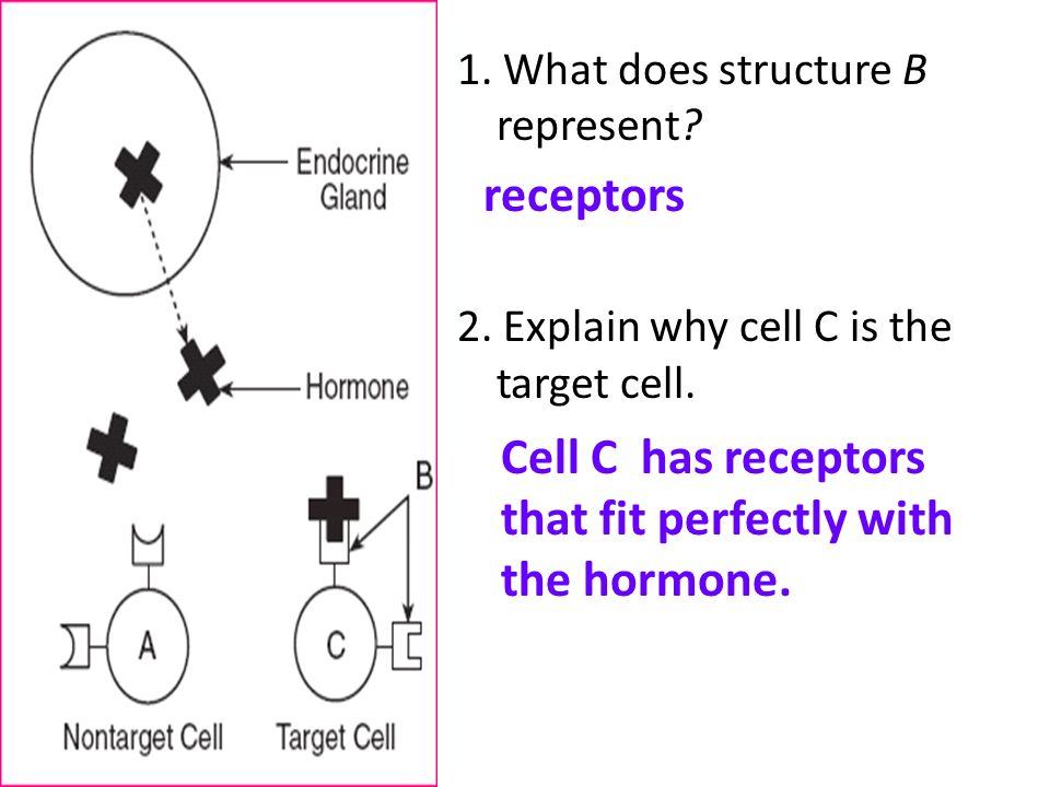 Cell C has receptors that fit perfectly with the hormone.