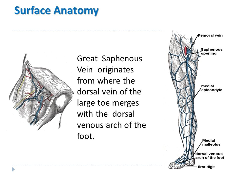 Surface anatomy of the foot