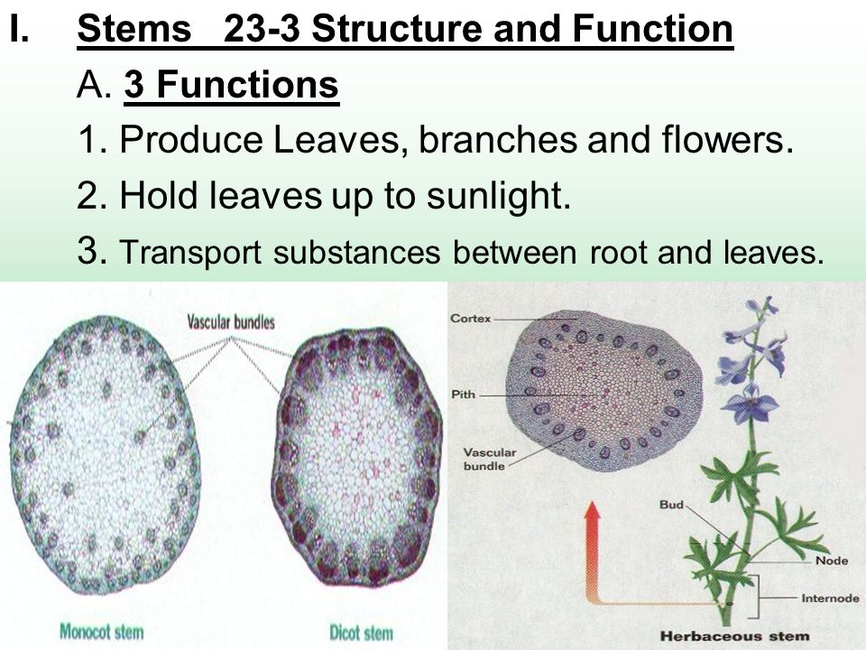 Stems 23-3 Structure and Function