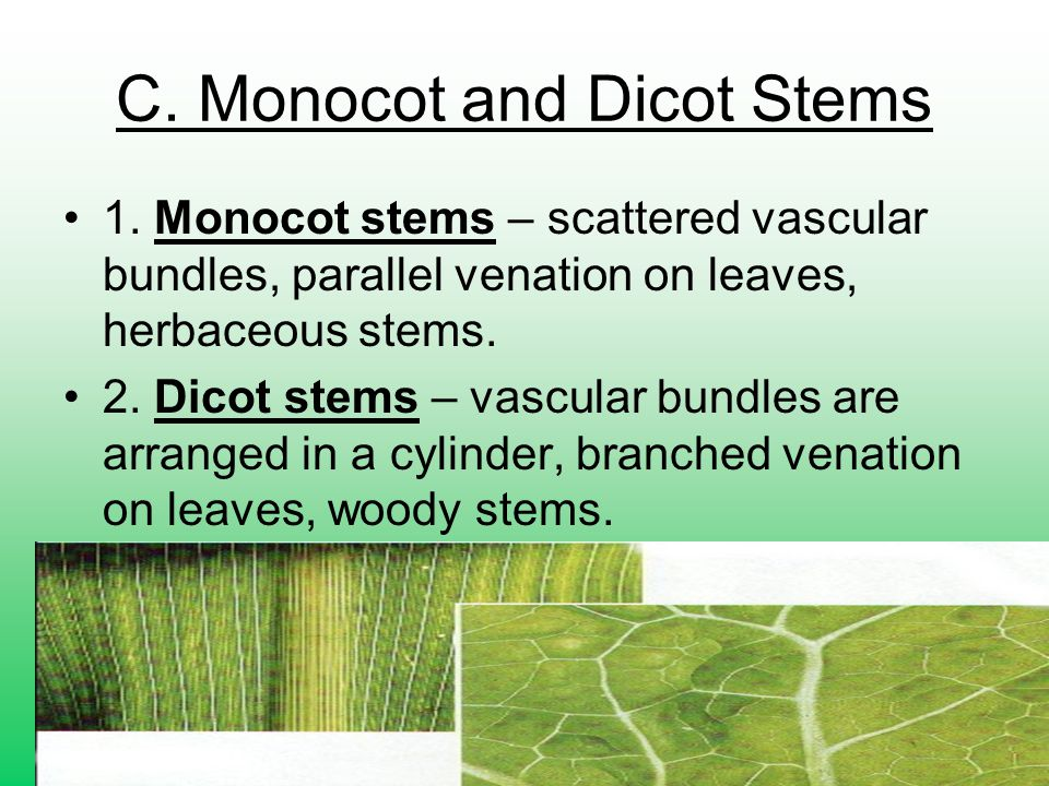 C. Monocot and Dicot Stems