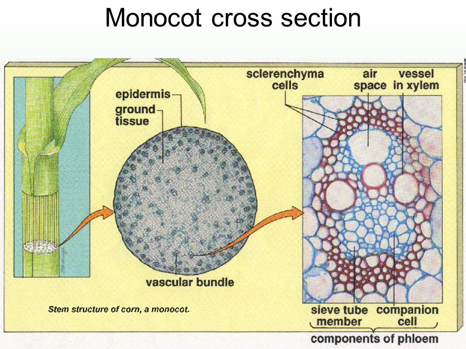 Monocot cross section