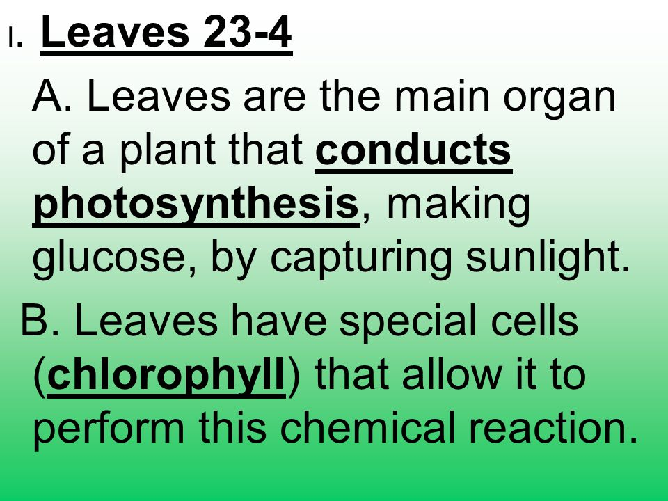 I. Leaves 23-4 A. Leaves are the main organ of a plant that conducts photosynthesis, making glucose, by capturing sunlight.