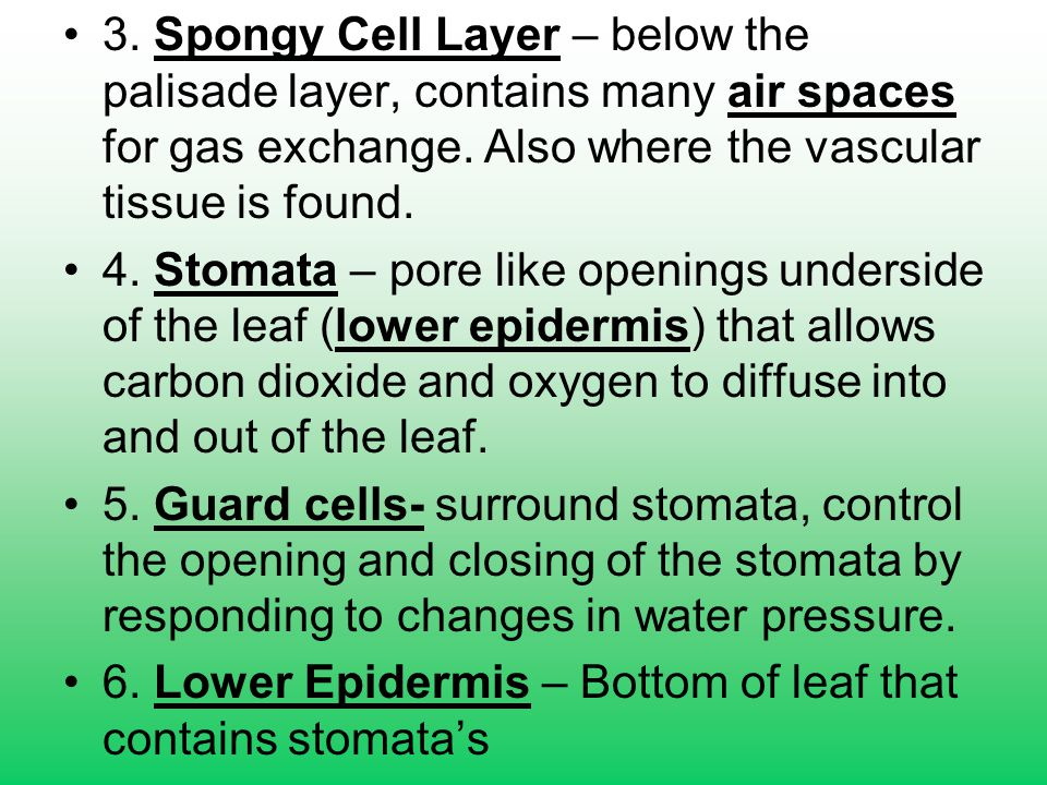 3. Spongy Cell Layer – below the palisade layer, contains many air spaces for gas exchange. Also where the vascular tissue is found.