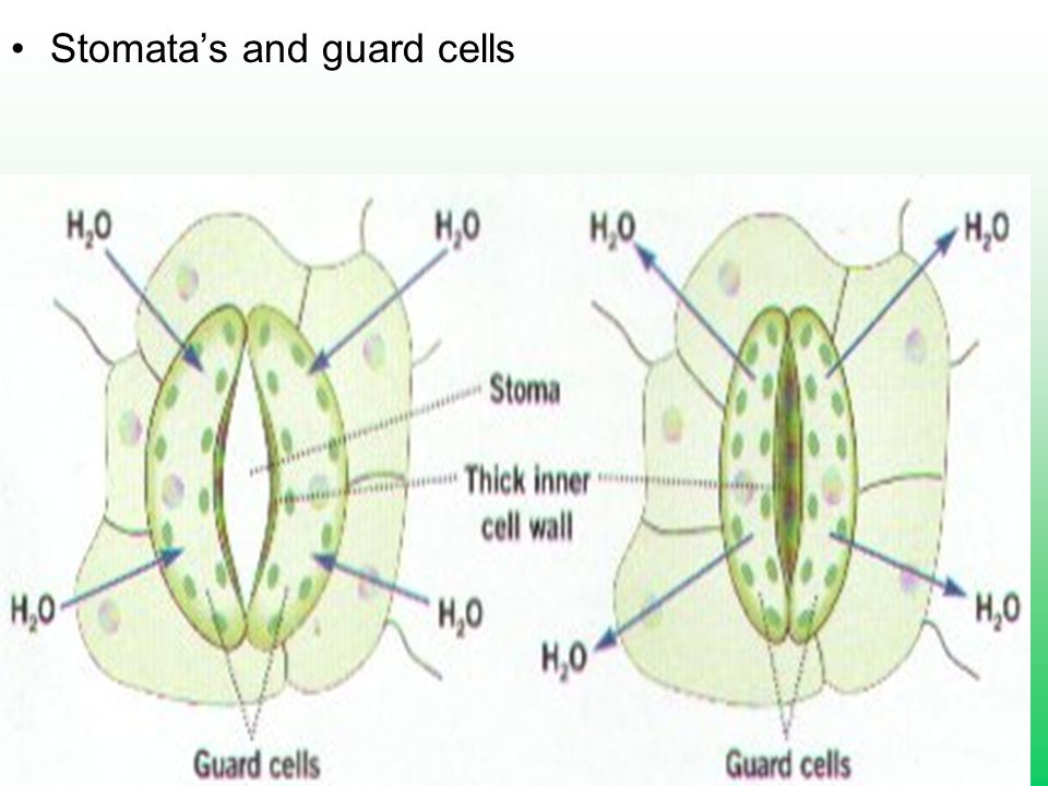 Stomata's and guard cells