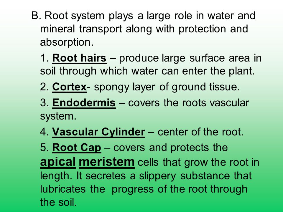 B. Root system plays a large role in water and mineral transport along with protection and absorption.