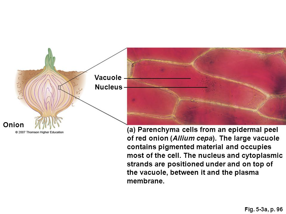 Onion Epidermal Cell Vacuolar Membrane
