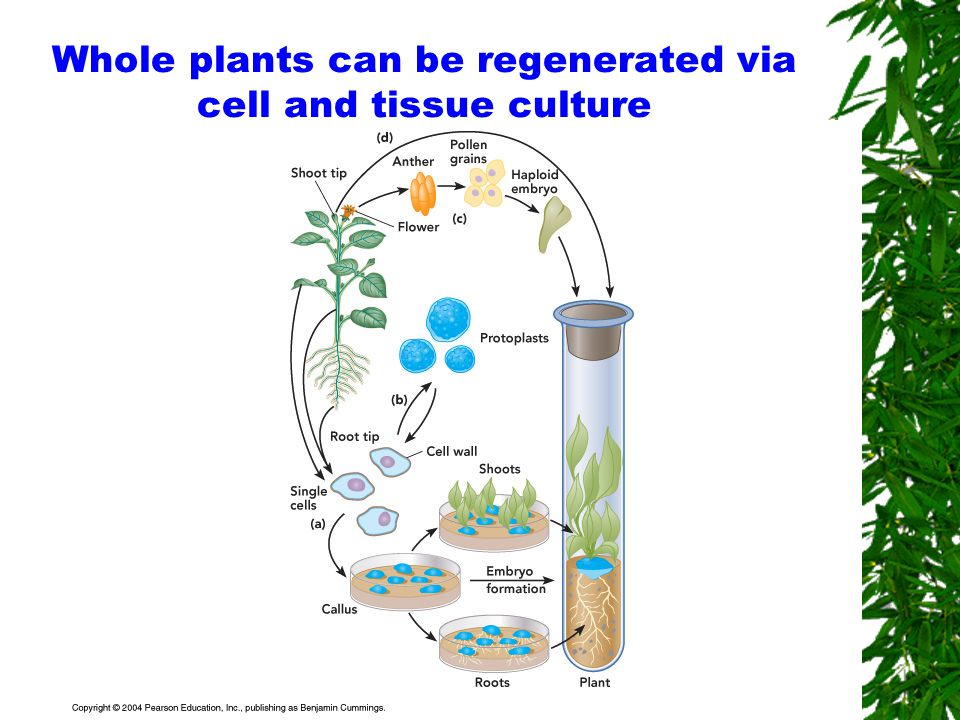 plant cell organ and tissue culture Plant tissue culture 153 iaa indoleacetic acid a plant hormone increasing cell elongation and, under certain circumstances, implicated in stimulating cell.