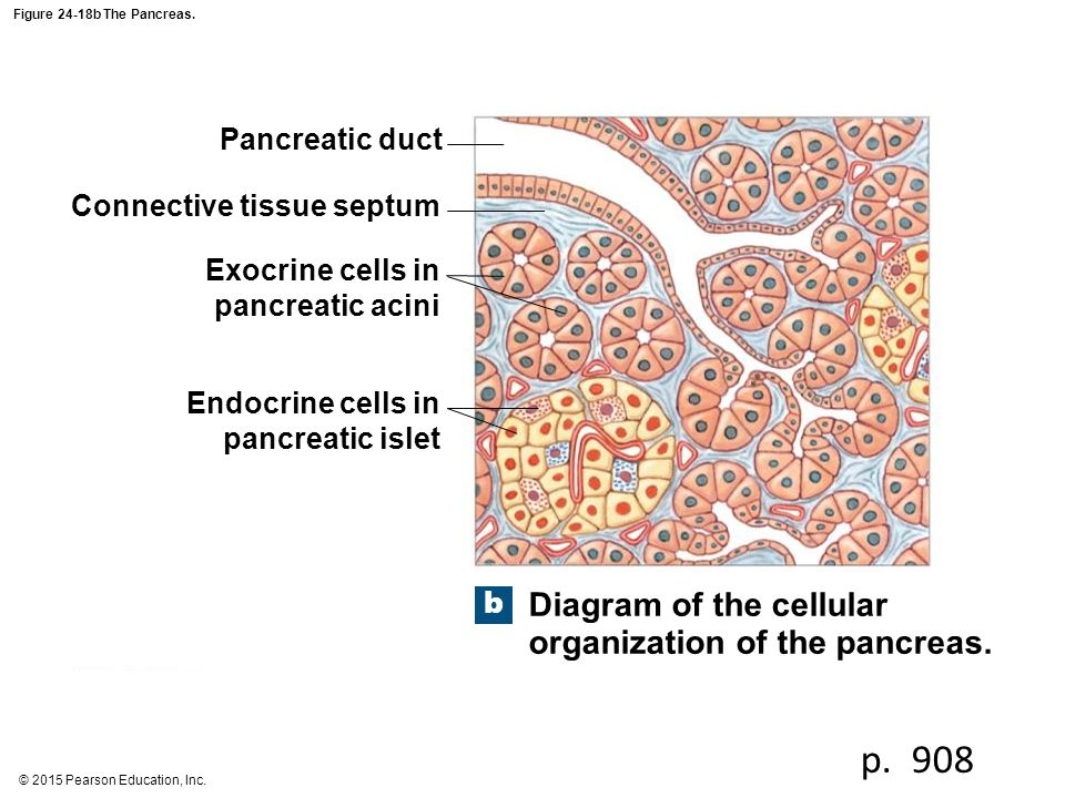 p. 908 Diagram of the cellular organization of the pancreas.
