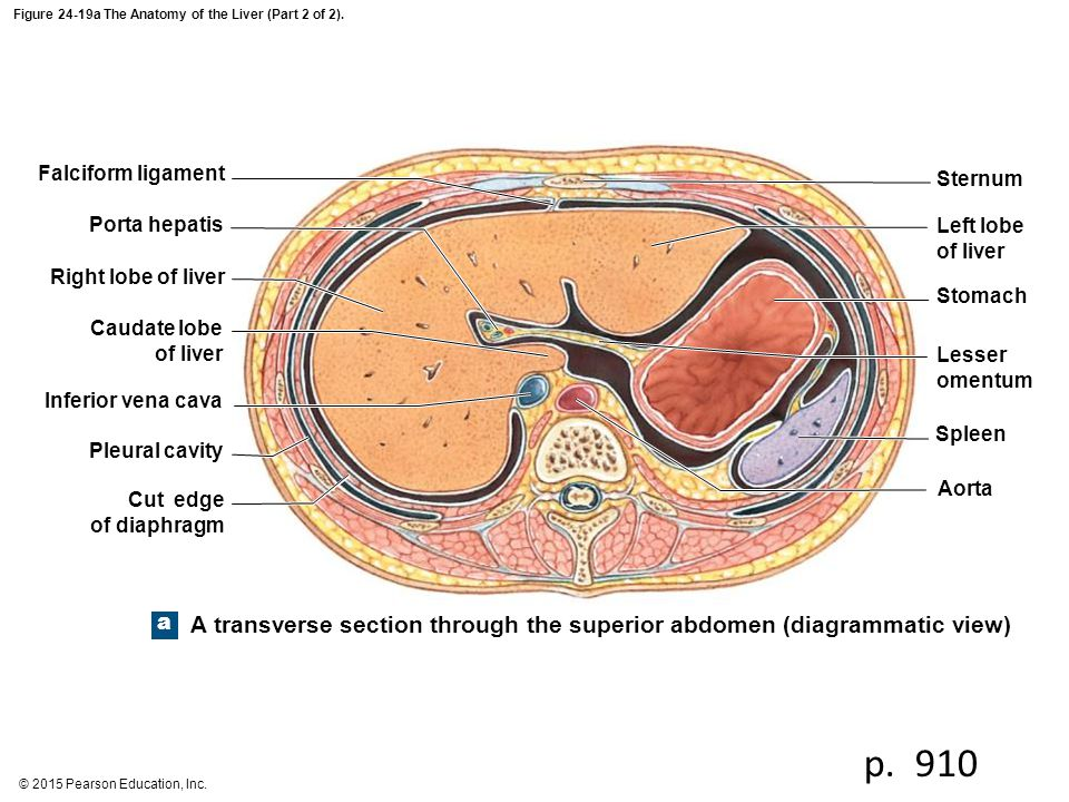 Figure 24-19a The Anatomy of the Liver (Part 2 of 2).