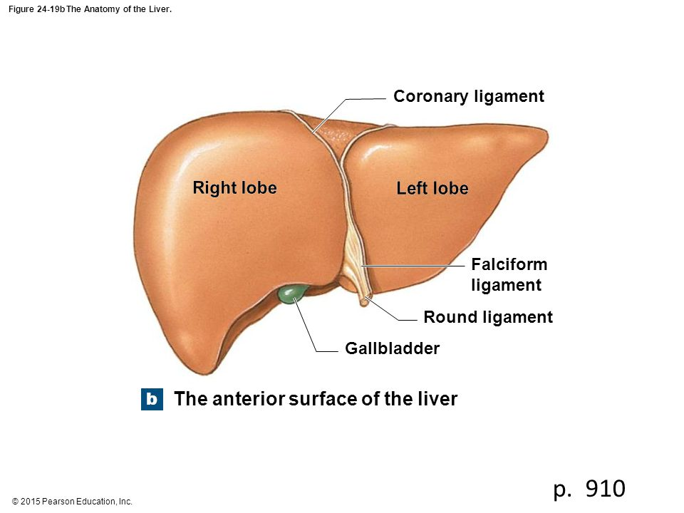 Figure 24-19b The Anatomy of the Liver.