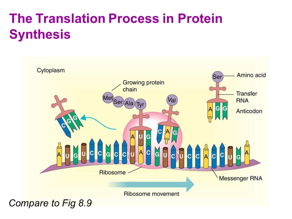 translation as a process Translation on all the diagrams below, the 5' end is at the left of the mrna, the 3' end is at the right 1 initiation: the beggining of the translation process to begin translation, the large (top) and small (bottom) ribosomal units must be bound together to the strand of mrna.