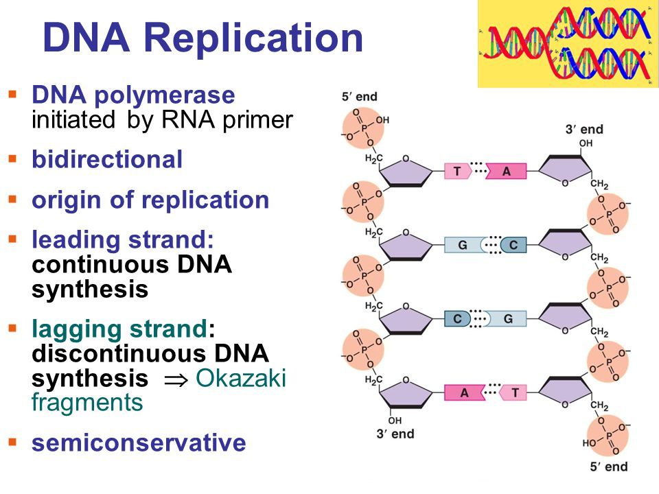 process of dna replication essay Deoxyribonucleic acid (dna) is a nucleic acid that contains the genetic  act on  dna and copy its information into either more dna, in dna replication,.