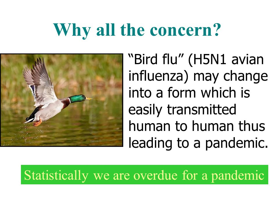 avian essay flu pandemic virus virus Avian influenza essay sample avian influenza, also known as the bird flu, is an influenza a virus caused by avian, which means bird these viruses occur naturally in some birds.