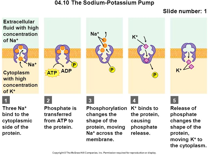 0410 The Sodium Potassium Pump Ppt Video Online Download