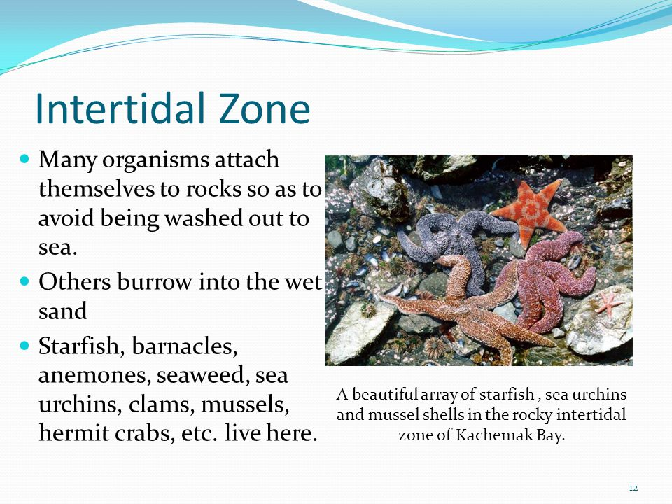 Intertidal Zone Many organisms attach themselves to rocks so as to avoid being washed out to sea. Others burrow into the wet sand.