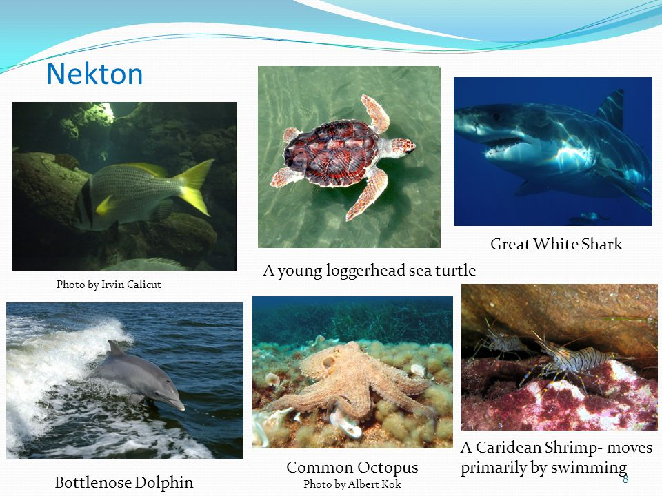 Nekton Great White Shark A young loggerhead sea turtle