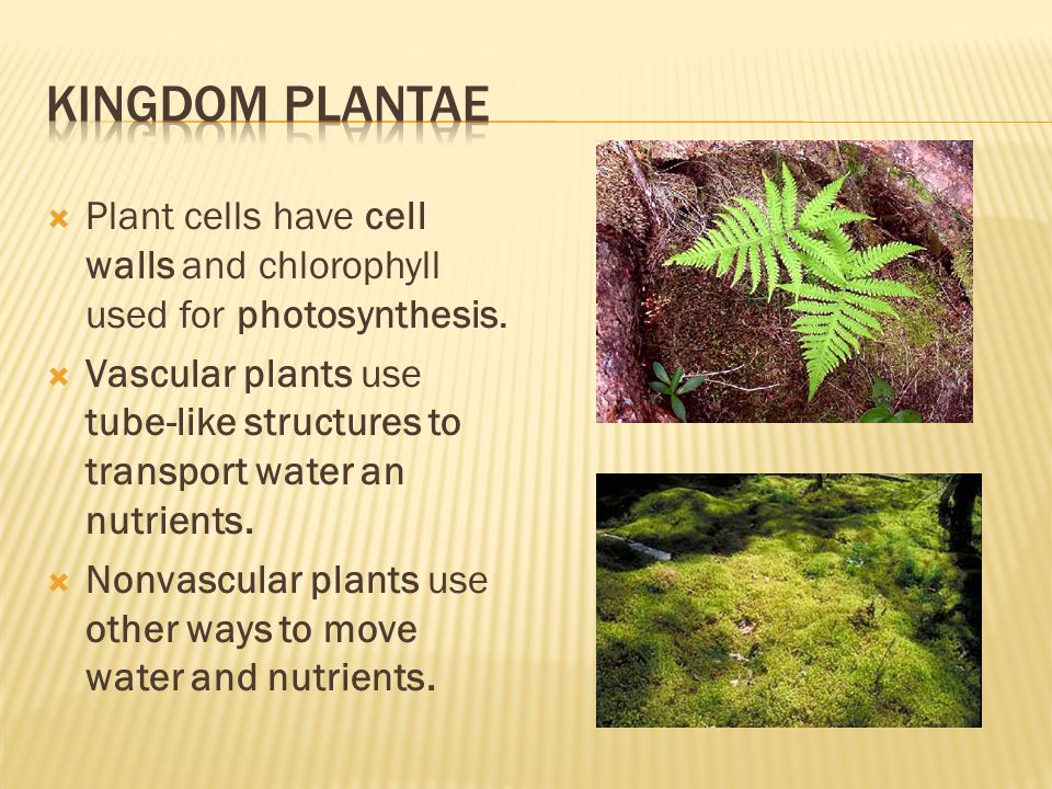Kingdom Plantae Plant cells have cell walls and chlorophyll used for photosynthesis.