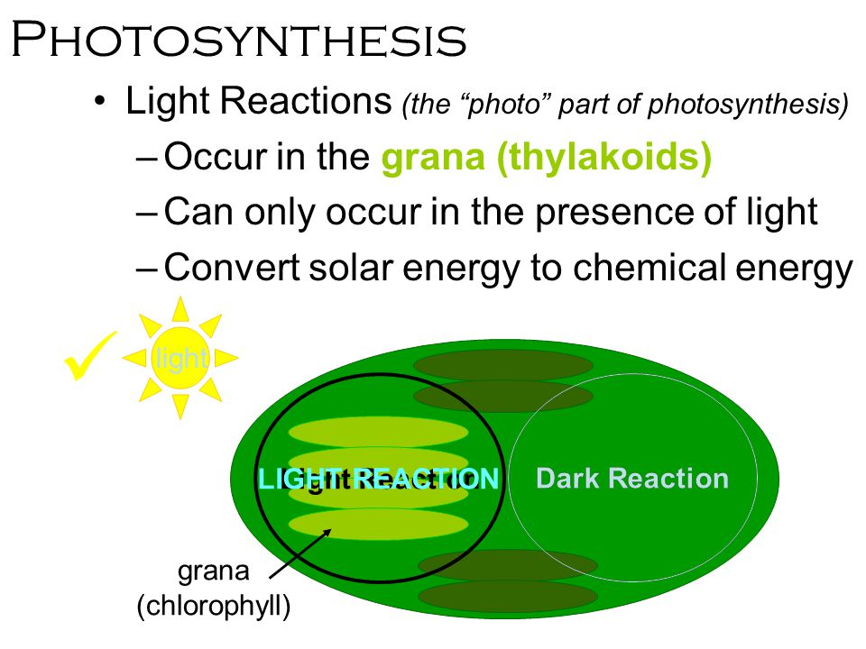 photosynthesis chemical reaction Free photosynthesis process review study chloroplasts, the chemical equation, chlorophyll and the light and dark stages of photosynthesis.