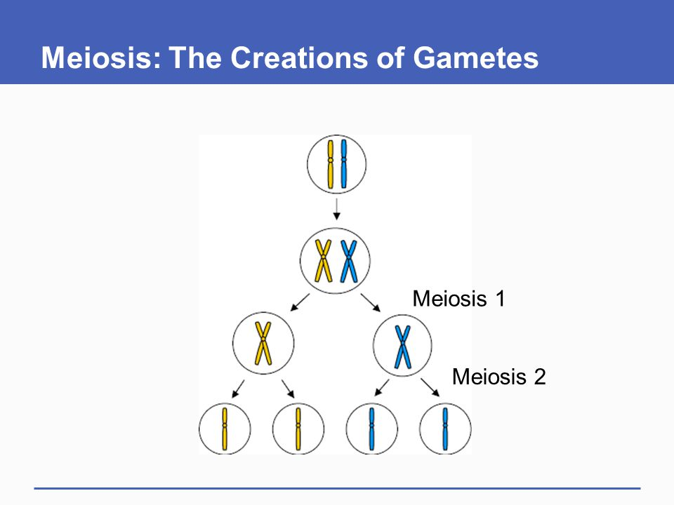 Meiosis: The Creations of Gametes