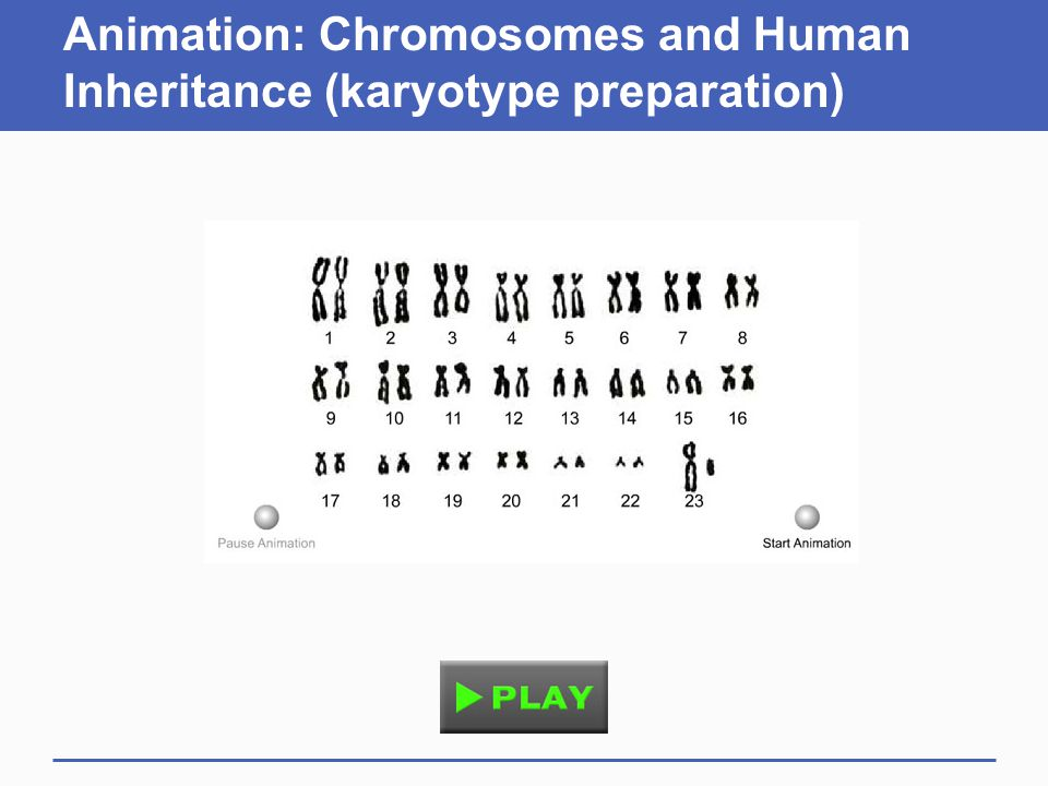 Animation: Chromosomes and Human Inheritance (karyotype preparation)
