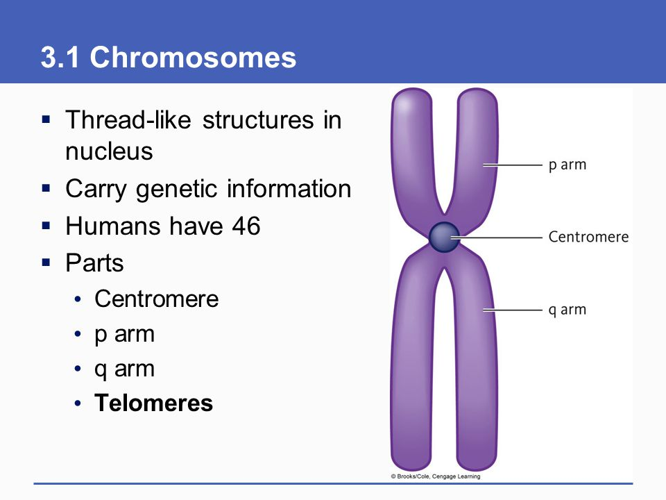 3.1 Chromosomes Thread-like structures in nucleus
