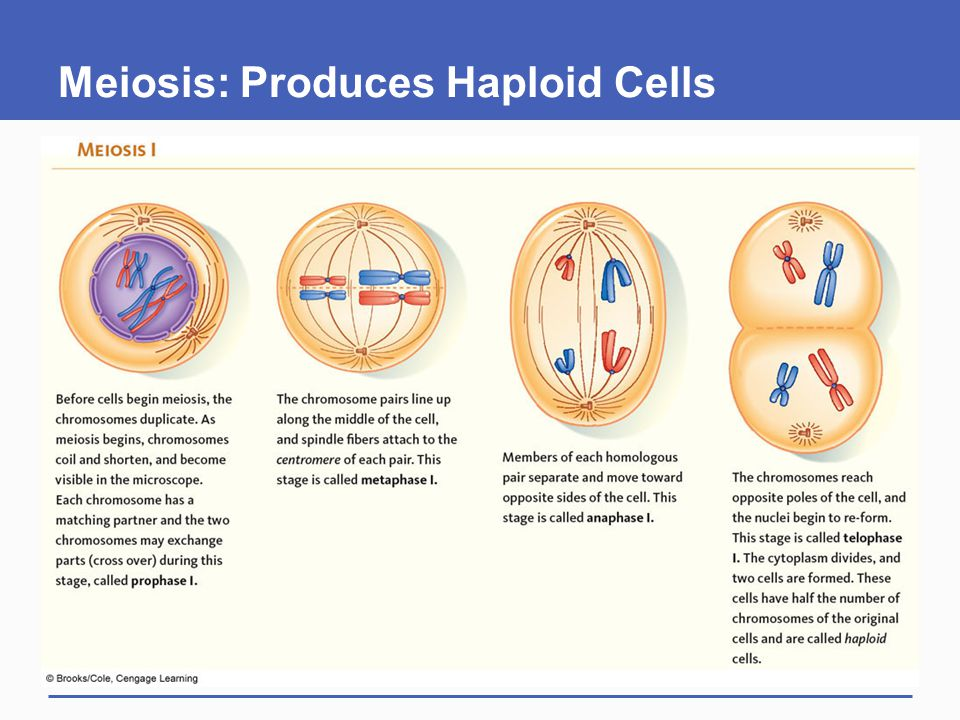 Meiosis: Produces Haploid Cells