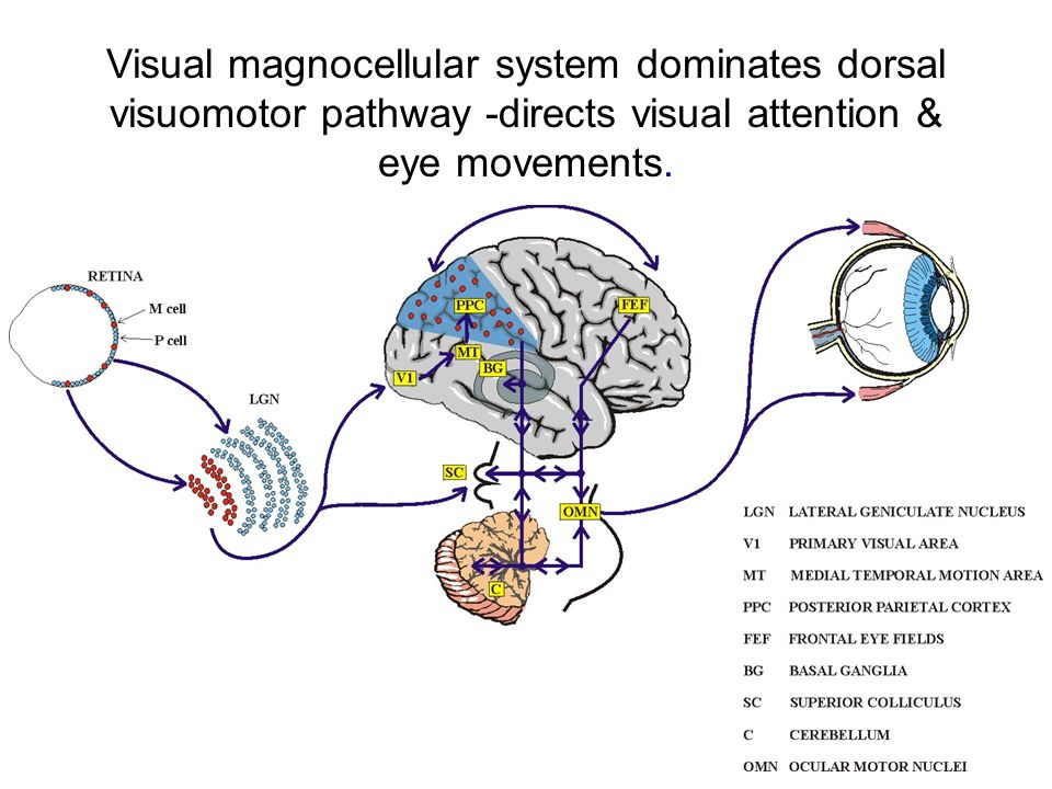Visual magnocellular system dominates dorsal visuomotor pathway -directs visual attention & eye movements.