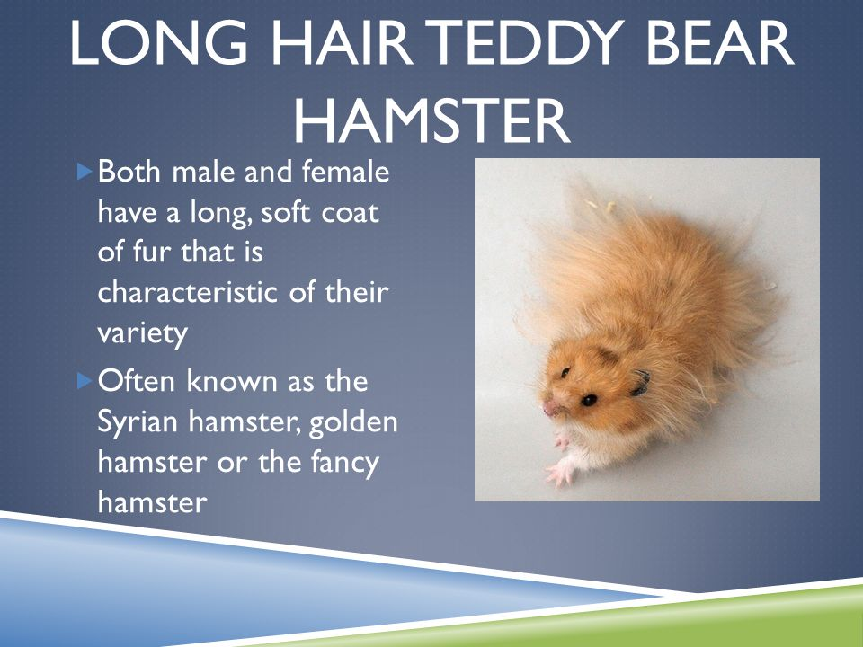 Pictures Of Male And Female Teddy Bear Hamsters - impremedia.net