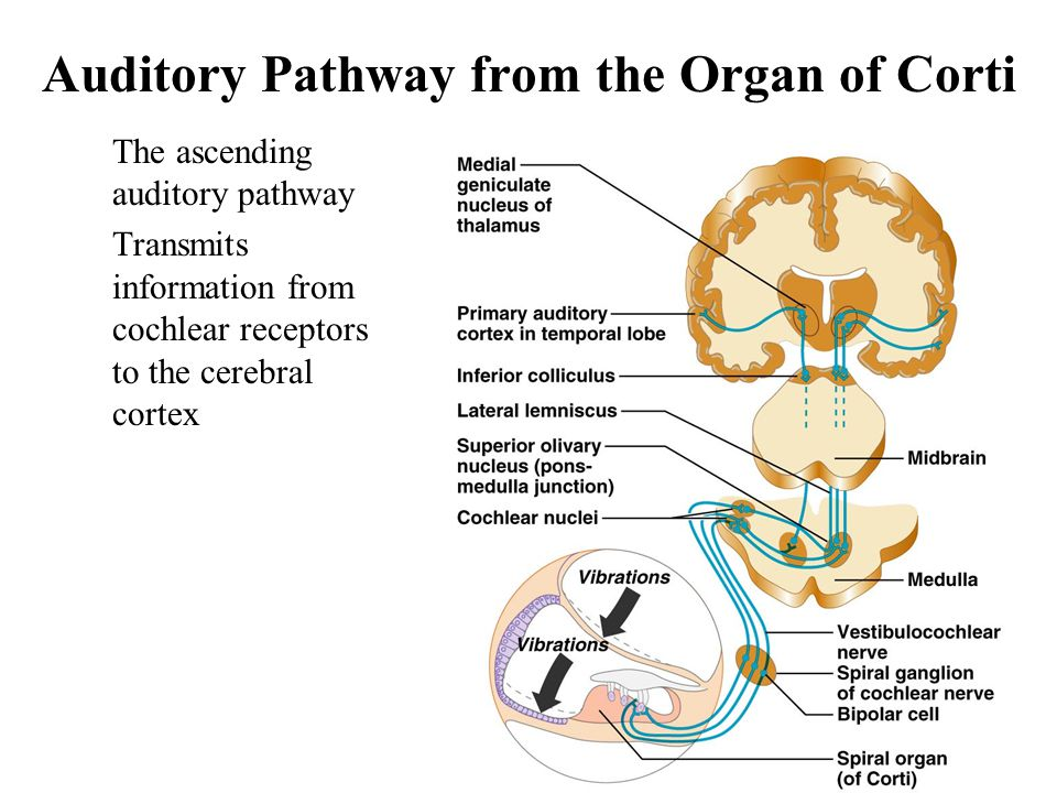 auditory system and optical system essay Auditory development involves changes in the peripheral and central nervous  system along the auditory pathways, and these occur naturally,.