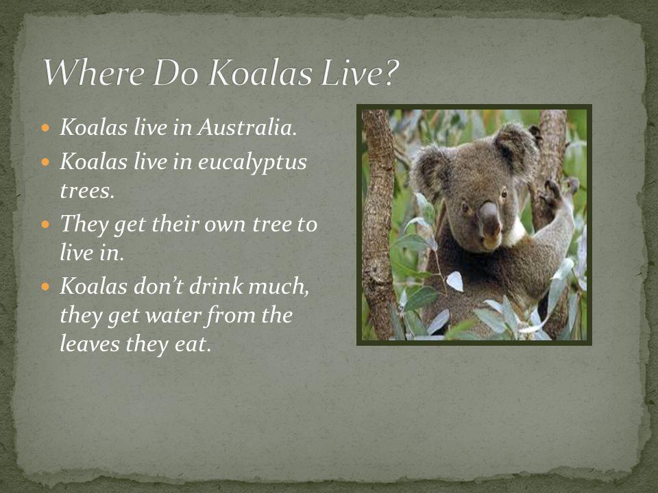 Do Koalas Drink A Lot Of Water