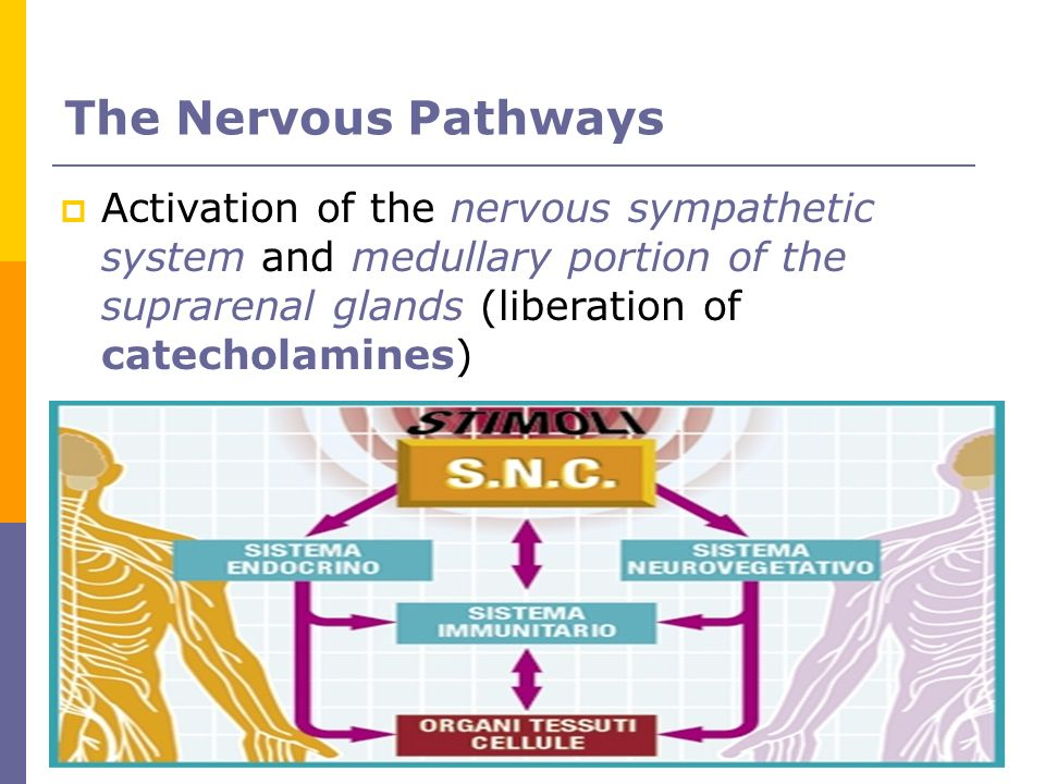 The Nervous Pathways Activation of the nervous sympathetic system and medullary portion of the suprarenal glands (liberation of catecholamines)‏
