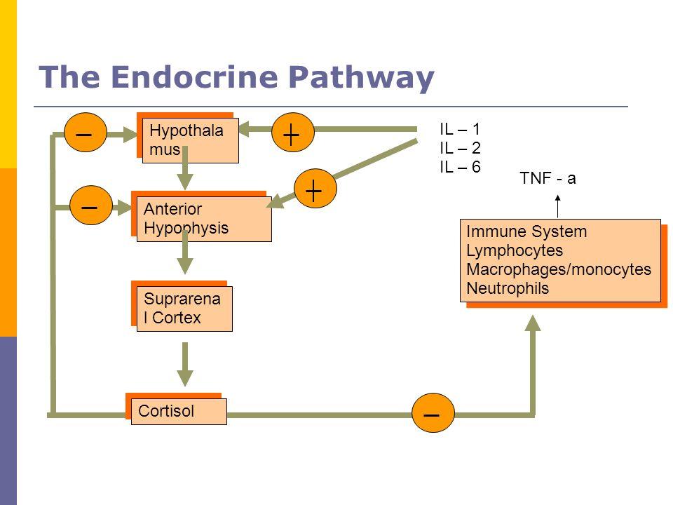 The Endocrine Pathway Hypothala mus IL – 1 IL – 2 IL – 6 TNF - a
