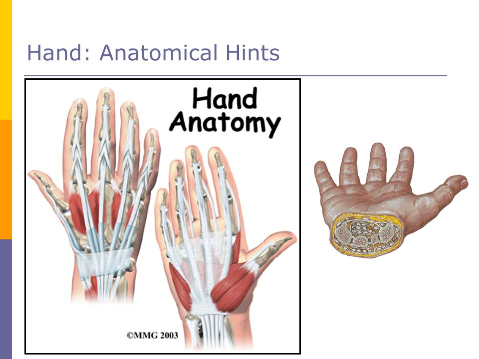Hand: Anatomical Hints