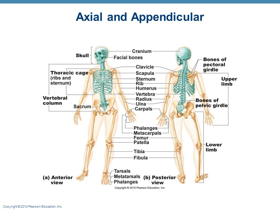 Axial and Appendicular