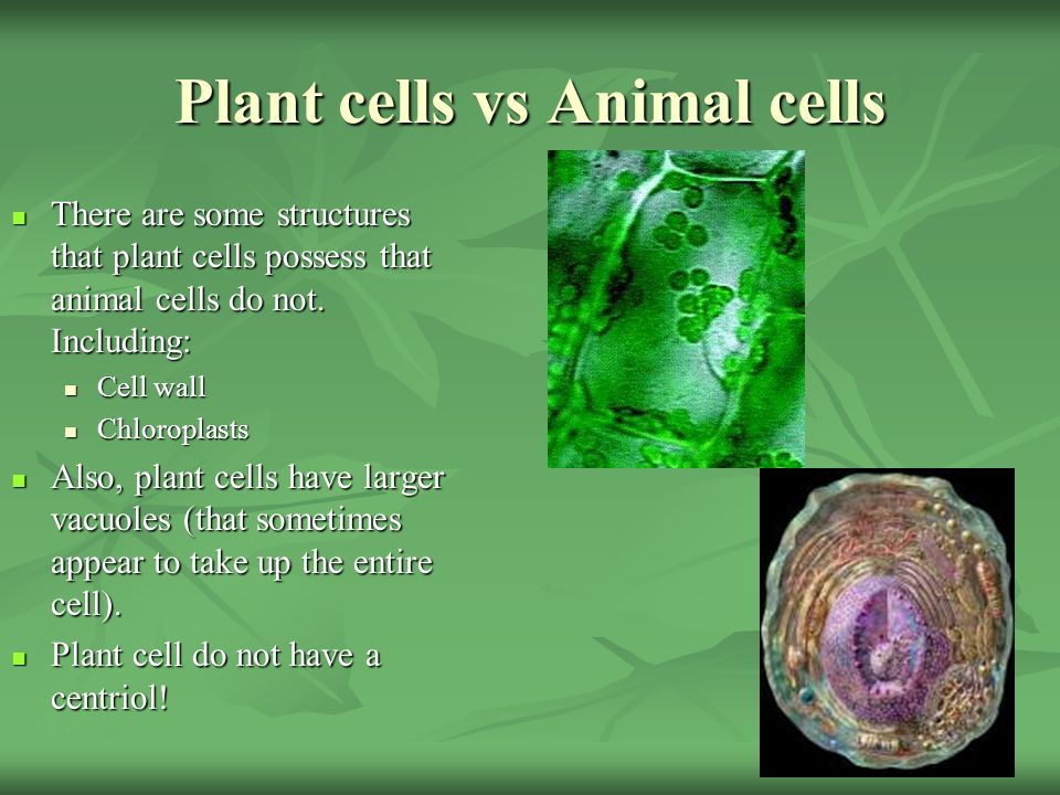 animal cells do not have a Despite many similarities, plant and animal cells differ in a few different ways the first difference is a structure known as\ഠchloroplasts, which plant cells have and animal cells do not chloroplasts are what give plants their green color.