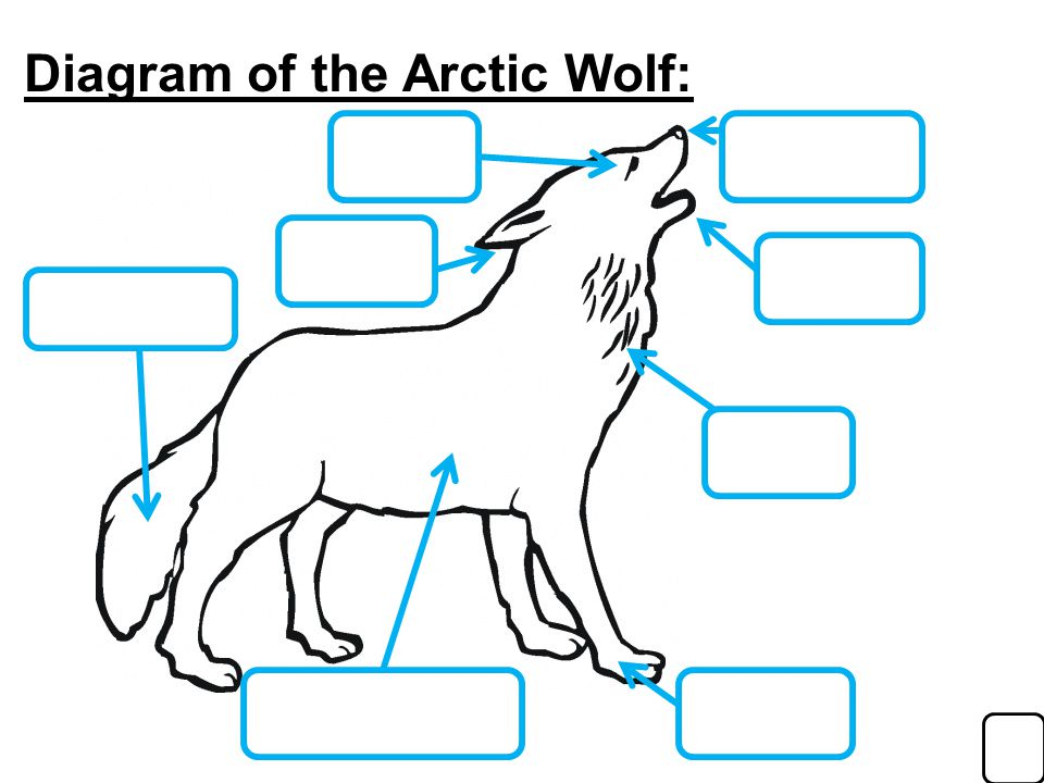 Diagram Of A Arctic Wolf - Information Of Wiring Diagram •