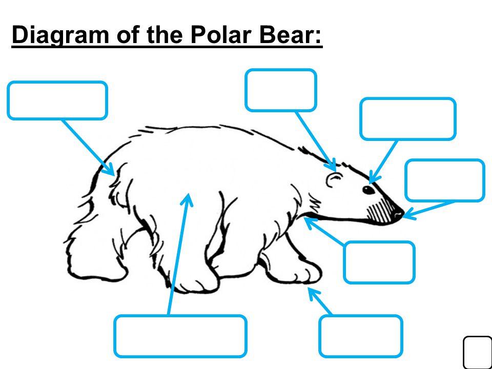 Diagram+of+the+Polar+Bear%3A polar bear diagram wiring diagram all data