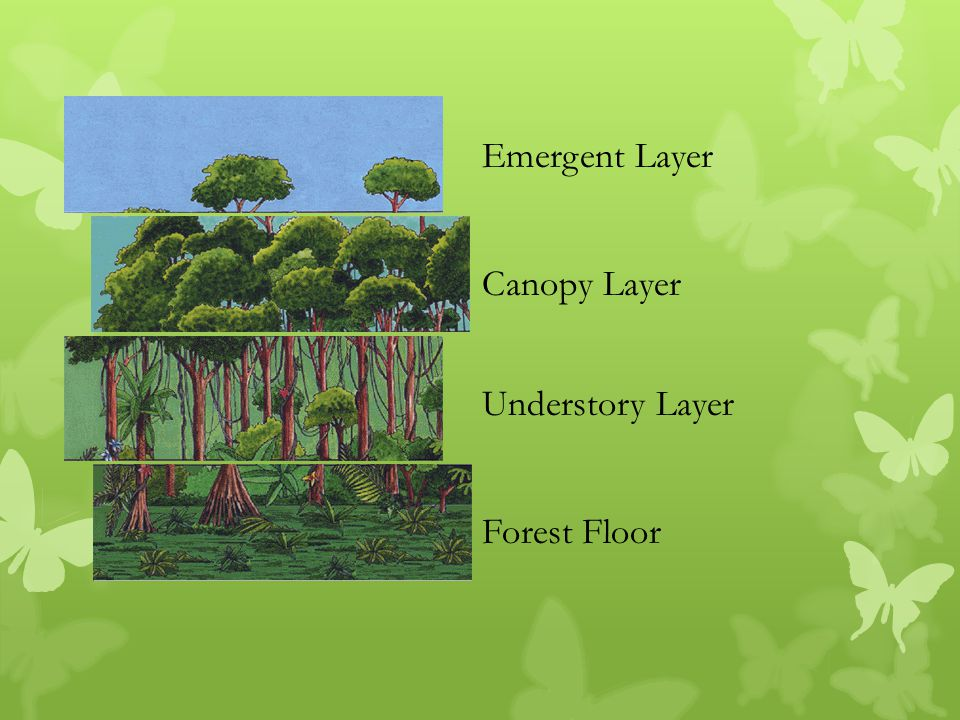 3 Emergent Layer Canopy Layer Understory Layer Forest Floor & Layers of the Rainforest - ppt video online download