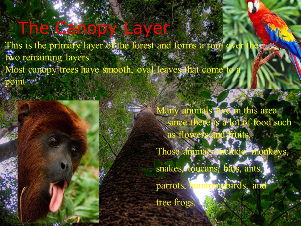 The Canopy Layer This is the primary layer of the forest and forms a roof over & Layers of the Rainforest - ppt video online download