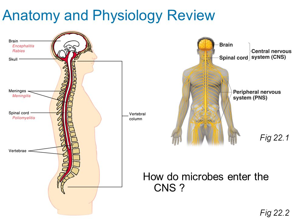 Ch 22 Microbial Diseases of the Nervous System. - ppt video online ...