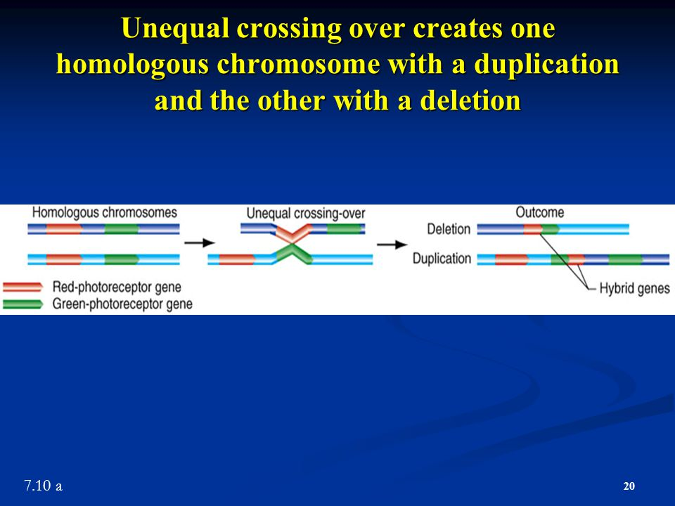 Unequal crossing over creates one homologous chromosome with a duplication and the other with a deletion