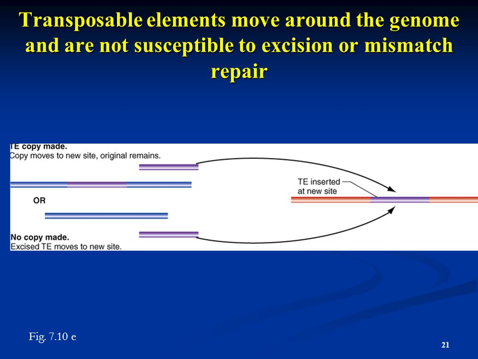 Transposable elements move around the genome and are not susceptible to excision or mismatch repair