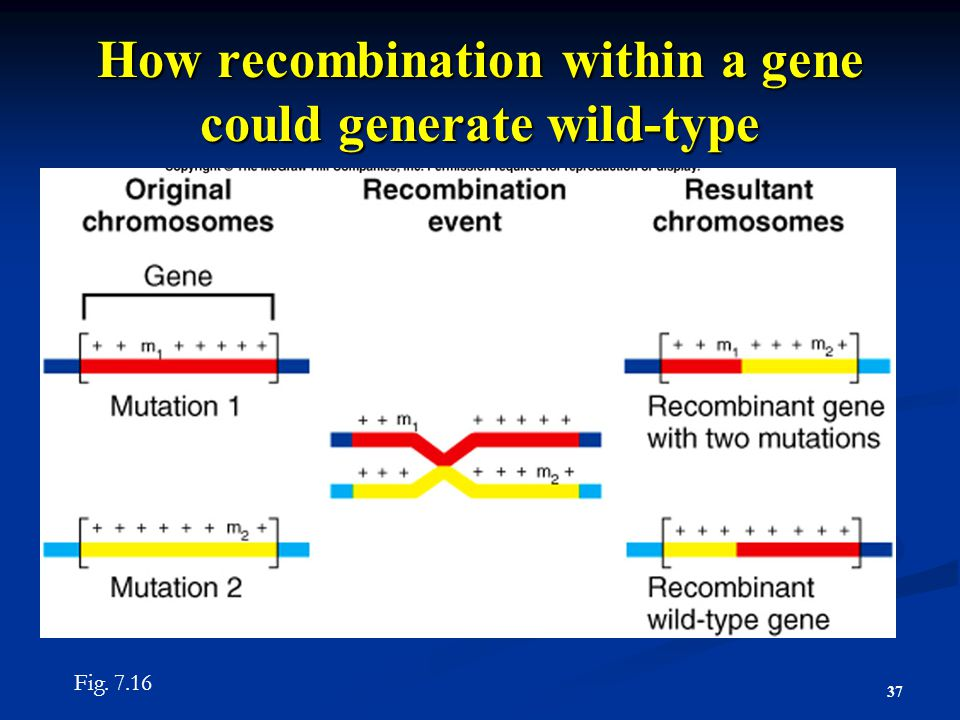 How recombination within a gene could generate wild-type